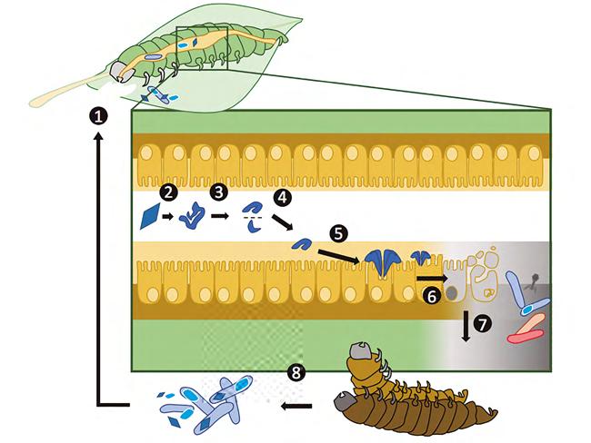 Modo de acción del insecticida biológico Bacillus thuringiensis