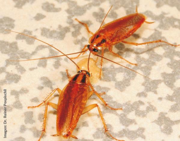 Control de cucarachas: conocimiento es poder