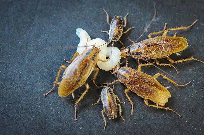 Aversión en cucarachas: prevenir en lugar de curar