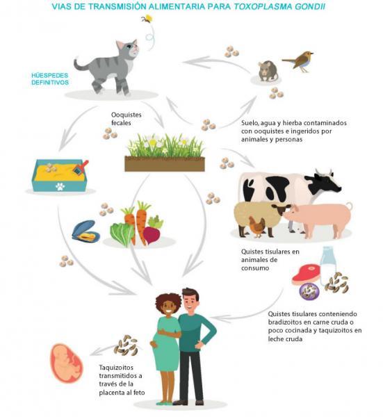 como prevenir la enfermedad de la toxoplasmosis