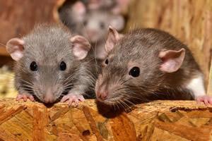 alimento para cazar ratas