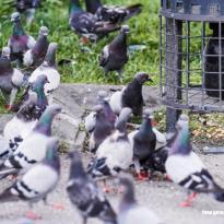 aves plaga